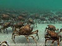 カニカニ動画!海底を大群で移動するカニと巨大エイにバリボリ食われる恐怖映像