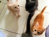 子猫×4 夕食の準備をしている飼い主さんに必死にすがる子猫(*´Д`)