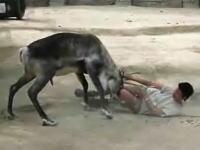 動物園で女性飼育員がトナカイに襲われて首を負傷してしまうハプニング映像