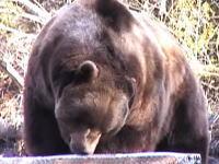 熊恐ろしすぎヤバイ(@_@;)作業現場に戻ったら巨大なクマさんが暴れていた