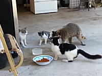猫の餌を奪いに来たアライグマさん。キャットフードもやっぱり洗うんだwww