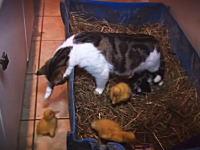子猫と一緒にアヒルの雛を育てているママ猫のビデオ。ほのぼのだけどヒヤヒヤw