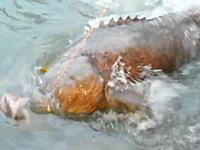 この魚DEKEEE!1メートルはある大きな餌に食いついたのは巨大魚だった!