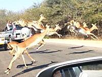 チーターから逃げるインパラの群れの一頭が観光客の車に激突してしまうビデオ。