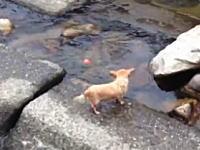 きょうのわんこ。川で一人遊びしている小ワンコが可愛いビデオ。ほのぼの。
