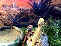 アゴヒゲトカゲがこっそり通信している所を偶然撮影しちゃったかもしれない。