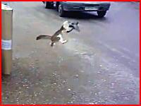 最悪のタイミングで鳩を捕まえようとした猫さんの悲惨な姿が撮影される。注意。