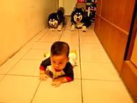 赤ちゃんのハイハイを真似して追いかける二匹のハスキー犬がカワイイビデオ。