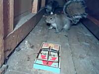 バチン!と叩かれ脳震盪ピクピク。ネズミ取りの罠に掛かってしまったリスさん。
