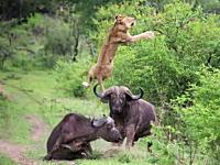 油断したライオンがバッファローの頭突きで宙を舞う映像が3000万ヒット。