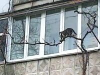 この母猫すごい。子猫を銜えて器用に枝を登り自宅に連れ帰る母猫の映像。