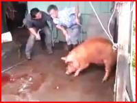 豚を斧で屠殺しようとして大失敗(((゚Д゚)))豚の頭部に振り下ろした斧が・・・。