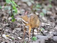 なんだこの生き物!?ネズミサイズの極小の鹿「ジャワマメジカ」がカワイイ。