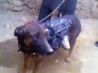 タリバン「我々はアメリカの軍事犬を捕虜にしたアクバル」と主張しているビデオ。