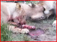 妊娠したイボイノシシを仕留めたライオンの捕食ビデオがなかなかショッキング