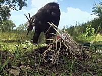 人類にもっとも近いチンパンジーのカンジ君がマジで凄い動画。もうほぼ人間だろ。