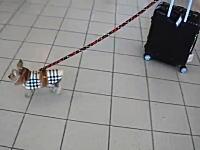 どこに行くのかな。旅行鞄を持ったお洒落なヨークシャー・テリアがカワイイ動画