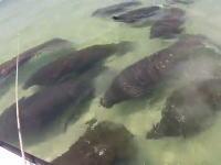 これはテンションあがる。ビーチでマナティの群れに遭遇した動画。ミニワンコも興味津々?