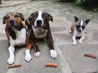 ちっこい犬めちゃワロタwwwこのワンコ3匹で「待て」動画がワロタwwwwww