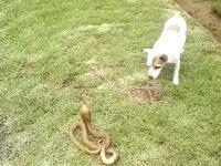 勇敢なワンコ。庭に現れた体長1.3メートルの毒蛇(ケープコブラ)を退治する。