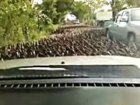 多すぎるwww洪水のように押し寄せるカモの群れに立ち往生させられたタクシー
