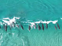 波に乗って遊ぶイルカさんたちを上空から撮影したビデオ゚+。:.゚ヽ(*´∀`)ノ゚.:。+゚