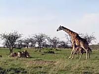 キリンのママさんが強い動画。我が子を守る為にライオンの群れに立ち向かう。
