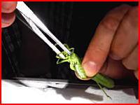 これはおぎゃあ(@_@;)バッタの中から尋常じゃない数の寄生虫がでてくる動画。
