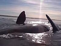 近すぎる。ホエールウォッチングで近づきすぎてクジラに乗り上げてしまった動画。