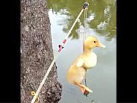 生餌はアヒルの子!?斬新なライギョ釣りの方法がネットにアップされる。ピヨピヨ。