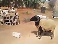 この羊のぶちかまし強ええw(゚o゚)wコンクリを積んだ手押し車にドーン!と頭突きする。