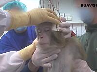 頭蓋骨に電子デバイスを取り付けられ様々なテストを行う。動物実験の現場を隠し撮り。
