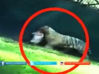 動物園のホワイトタイガーの飼育場に落ちた若い男性が襲われて死亡。その映像が公開される。