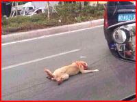 走る車に引きずられ続けているワンコが撮影される。道路は血だらけだった・・・。