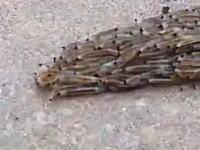 虫の世界にも協調性の無いヤツがいる。先頭が右と左に分かれてしまった幼虫の群れ。