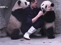 パンダにお薬を飲ませるのはこんなにも大変wwwというかカワイイすぎ動画が人気