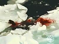 真っ赤に染まる流氷。カナダのアザラシ狩りを上空から撮影したビデオ。
