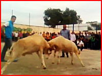 羊を戦わせるお祭りで負けた方の首が・・・。これは即死かな。流血注意です。