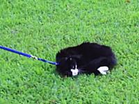 せっかく散歩に連れてきてあげたのにまったくヤル気のない「猫」の映像が人気に。