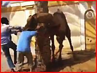ラクダの血抜きをしようとしていた男性が頭を噛まれてそのまま放り投げられる(@_@;)