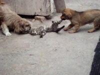 助けてあげて・・・(´°_°`)小犬二匹に戯れ付かれてる猫がヤバい動画。これはもう襲われてるレベル・・・。