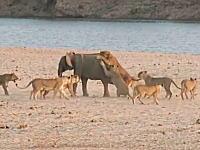 14頭のメスライオンに襲われている幼い象さんの姿が撮影される。生還したのか。