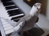 このオカメインコかわええ(*´д`*)ピアノに合わせてトトロを歌うインコのぽこちゃん