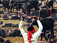 「いけにえ祭り」宗教って悪じゃね?ヒンズー教寺院の水牛殺しまくり祭りの画像
