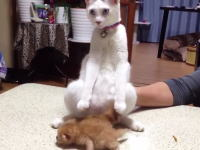 子猫と初めてのご対面でどうしていいのか分からず変なポーズになるパパネコww