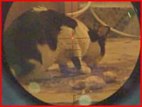 餌を撒いておびき寄せたニャンコを強力なエアガンで狙撃する鬼畜ハンターのビデオ。