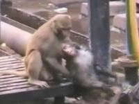 線路で感電してしまった仲間を救うお猿さんの映像が撮影されて話題に。インド。