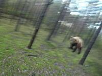 なんど振り返っても熊(((゚Д゚)))サイクリング中に熊に追いかけられるうp主のビデオ。