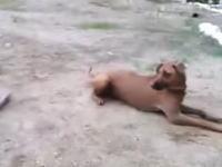飼い主が池で溺れている(フリ)のを発見したワンコの反応。これは良い犬。