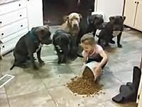 4歳の女の子が用意してくれる食事をじっと我慢して待つピットブルたち。賢い!